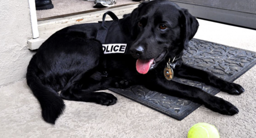 A police dog lying on the ground next to a tennis ball.